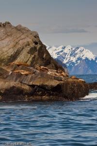 Stellar Sea Lions resting on Cliff